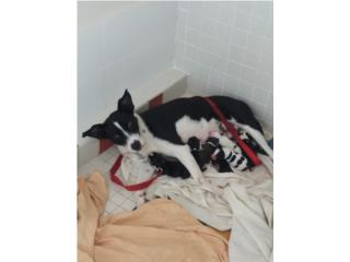 Adopción- Cachorros Puerto Rico