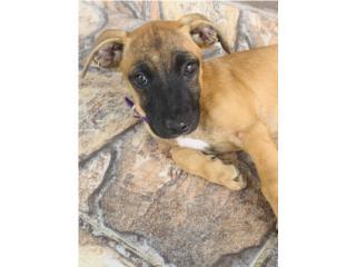 Hermosa perrita rescatada  Puerto Rico