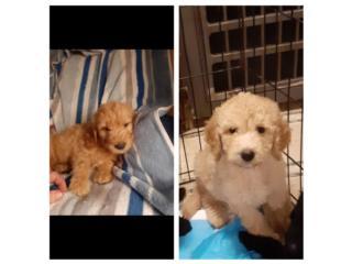 Puerto Rico Vendo un Goldendoodle nena y un nene, Perros Gatos y Caballos