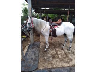 Precioso caballo moro apaluso Puerto Rico