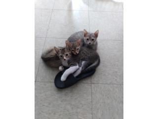 Se regalan gatitos 3 meses de nacidos Puerto Rico