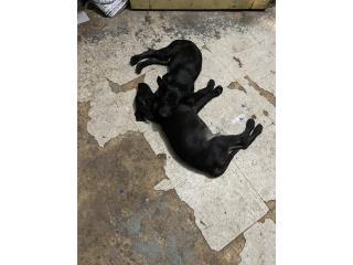 Adopción de Dos perritos Puerto Rico