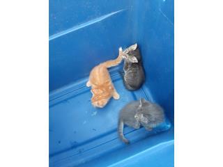 Preciosos gatitos Puerto Rico