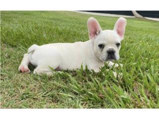 French bulldogs macho $3500 Puerto Rico
