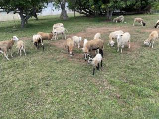 Se venden ovejas en Arecibo Puerto Rico
