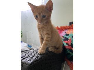 Hermosos gatitos de mes y medio Puerto Rico