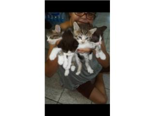 Gatos de un mes adopción Puerto Rico