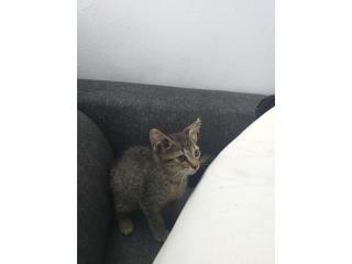 Adopcion gatita  gris Puerto Rico