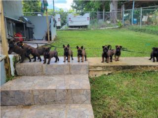 Puerto Rico Bellos Belgian Malinois , Perros Gatos y Caballos