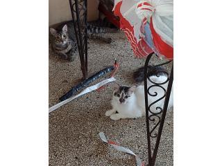 Se regalan gatitos 5 meses Puerto Rico