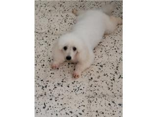 Buscamos Toy poddle hembra Puerto Rico
