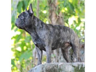 French Bulldog Macho Calidad Puerto Rico