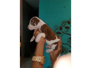Pitbull american terrier  Puerto Rico