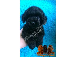 Toy Poodle  Puerto Rico