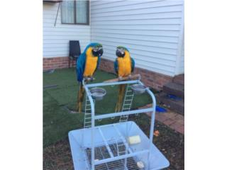 Pair of blue and gold Macaw parrots available Puerto Rico