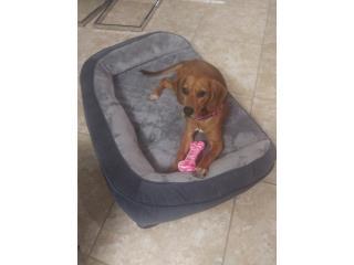 Beagle puppy Puerto Rico