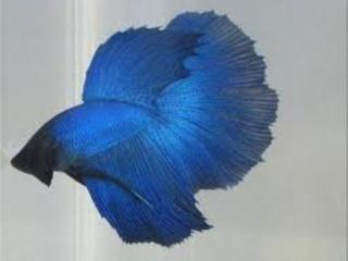 Betta Super Delta Puerto Rico