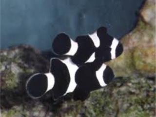 Black Ocellaris Clown Fish Puerto Rico