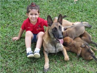 Pastores de Belgica y Holandeses D'Rojo, Family Dog K-9