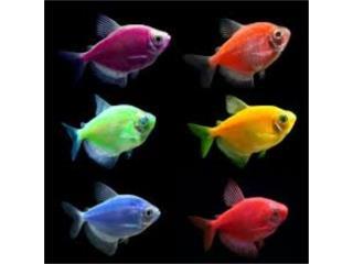 Glofish Tetra Puerto Rico
