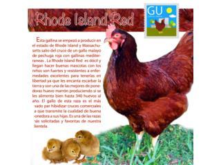 Rhode Island Reds 787-647-4447, GALLINAS URBANAS