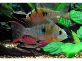Bolivians Rams (Peces), OUTLET PET CENTER & CENTRO AGRICOLA