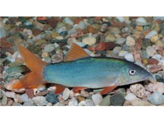 Red Tail Botia (Peces), OUTLET PET CENTER & CENTRO AGRICOLA