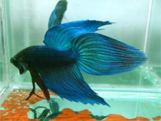 LongFin Betta Macho (Peces), OUTLET PET CENTER & CENTRO AGRICOLA