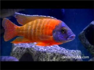 Red Jacob Cichlid(Peces), OUTLET PET CENTER & CENTRO AGRICOLA