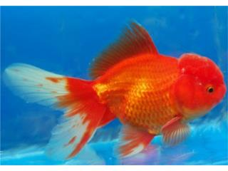 Lionhead Goldfish (Peces), OUTLET PET CENTER & CENTRO AGRICOLA
