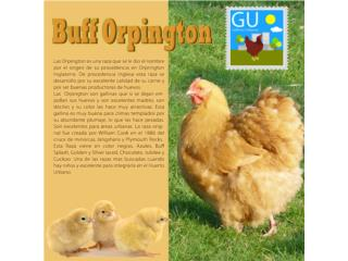 Pollitas de Buff Orpington ponedoras, GALLINAS URBANAS