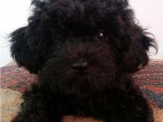 Puerto Rico Peluches Vivientes - Toy Poodles, Perros Gatos y Caballos