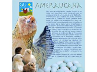 Pollitas Ameraucanas Huevo azul 787-647-4447, GALLINAS URBANAS