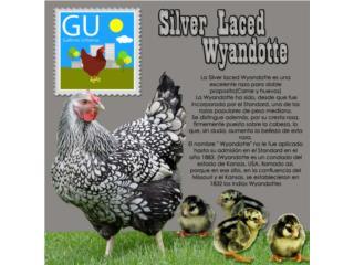 Pollitos ponedoras Silver L Wyandotte 787-647-4447 Puerto Rico