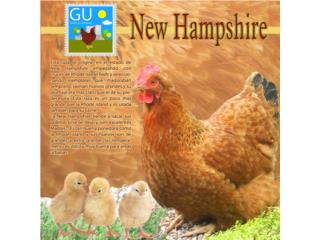 Pollitas de gallinas New Hampshire 647-4447, GALLINAS URBANAS
