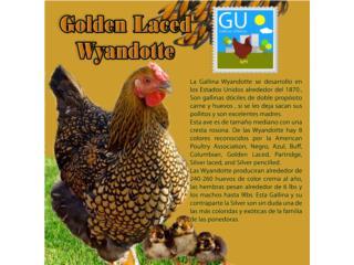 Pollitas Golden Laced Wyandottes Ponedoras  Puerto Rico