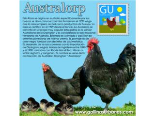 Pollitos de Gallinas Australorp ponedoras, GALLINAS URBANAS
