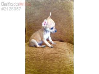 Puerto Rico Chihuahua macho con papeles, Perros Gatos y Caballos