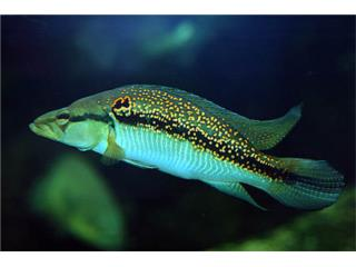 Pike White Spotted Suriname Cichlid Puerto Rico