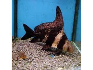 Hi Fin Banded Chinese Shark, AQUARIUM XTRA