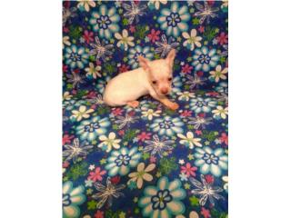 Chihuahua Hembra red noue con papeles , Family Pets