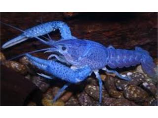 Electric Blue Crayfish, AQUARIUM XTRA