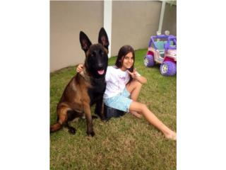 Pastor Belga Malinois Aliquam Canes, Another Level Dog Training