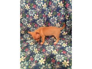 chihuahua hembra $150, Family Pets