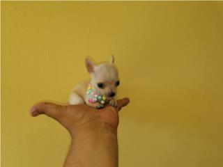 Chihuahua nena miniatura apple, DOGS TO GO