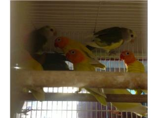 Lovebirds anillados y regulares, Isabela Pet Shop