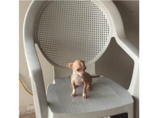 CHIHUAHUA TOYS NENE BLANCO Y DORADO , Pets