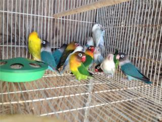 70 lovebird anillados leer, Family Pets