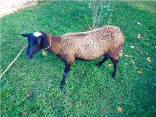 oveja preña 1er parto, Family Pets