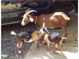 cabra con 2 crias macho leer, Family Pets